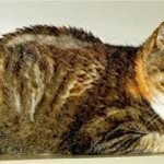 Arthritic cat