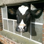 Cow looking through window