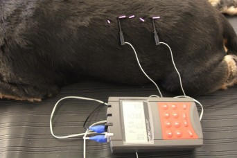 Dog receiving electroacupuncture