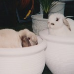 Flower pots and rabbits