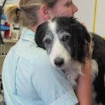 Old dog in surgery