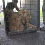Loading lions into crate