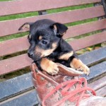 pup in boot